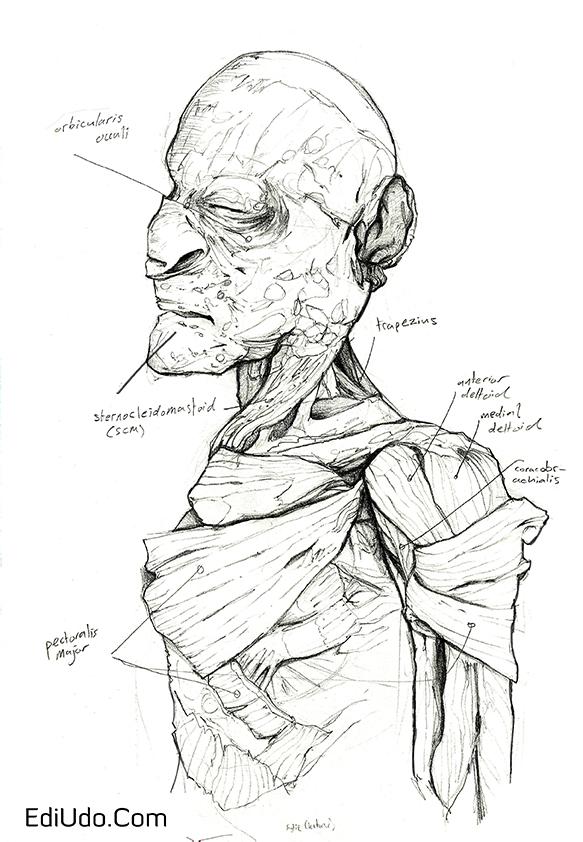 Cadaver study.